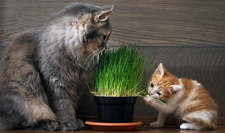 cat and kitten eating grass
