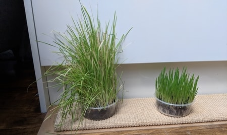 cat grass dying - How To Get Rid Of Mold On Cat Grass