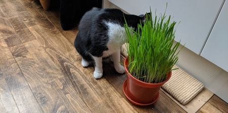 oat cat grass