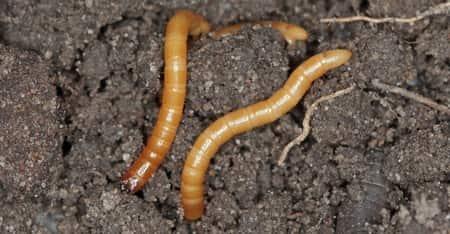 wireworms