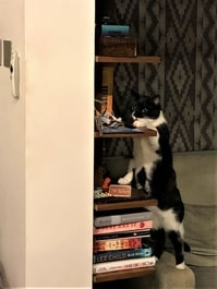 archie cat reaching shelf for toy