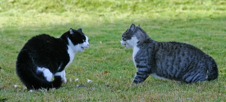 cats arguing