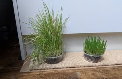 How To Get Rid Of Mold On Cat Grass